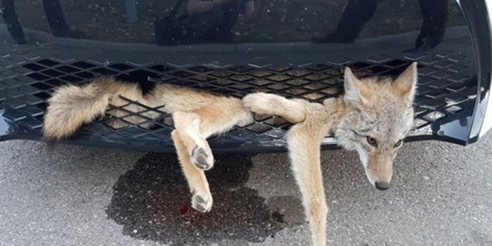 636408546662793435-coyote-embedded.jpg