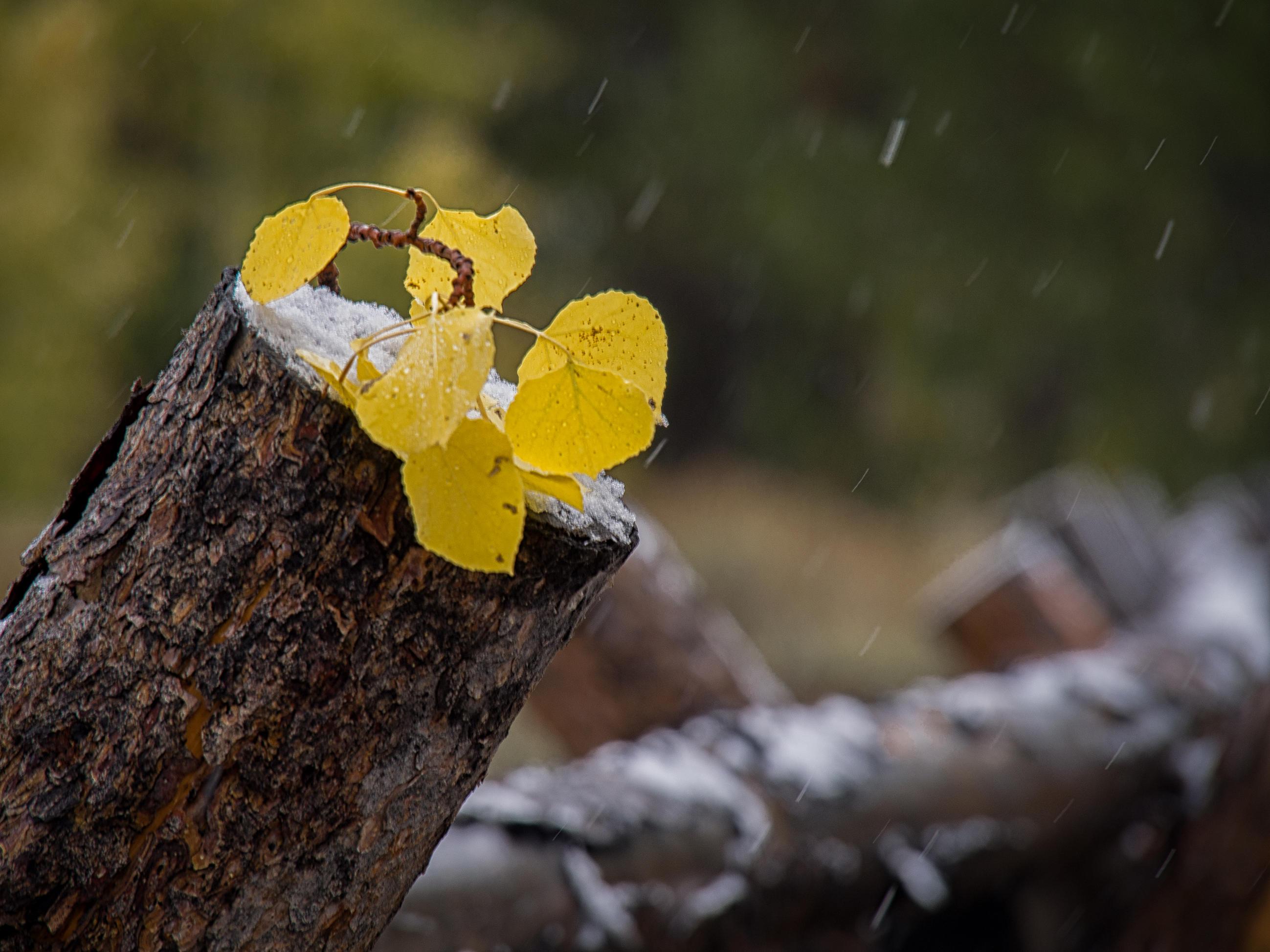 Aspen leaves on rail fence post-P9260311-.jpg