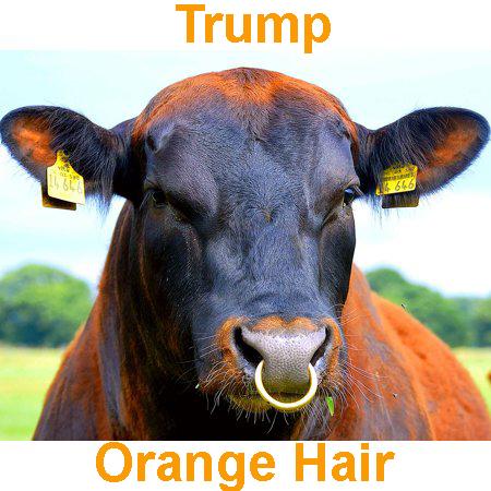 Cow Nose ring orange - Trump.jpg