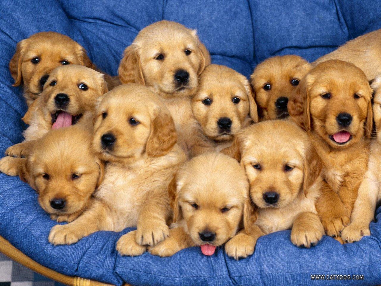 golden retreiver puppies.jpg